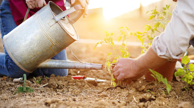 Senior Couple Planting Seedlings